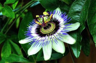 Top 5 Health Benefits of Passion Flower!