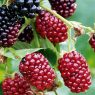 Top 5 Health Benefits of Boysenberries!