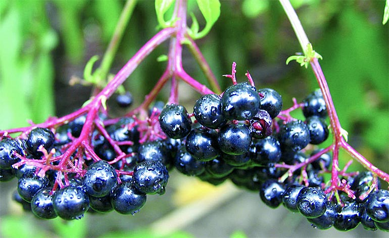 Top 5 Health Benefits of Chokeberries Keep Fit Kingdom 770x472