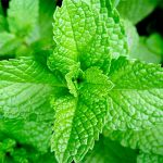 Top 5 Health Benefits of Mint! - Keep Fit Kingdom