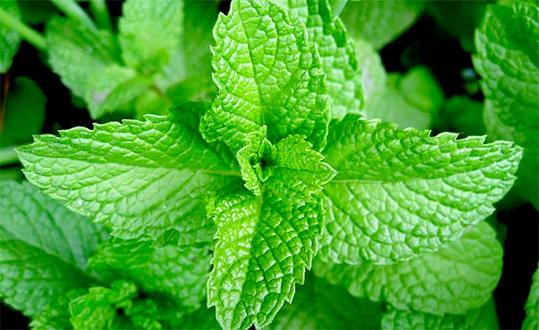 Top 5 Health Benefits of Mint! - Keep Fit Kingdom