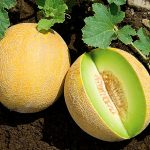 Top 5 Health Benefits of Galia Melon! - Keep Fit Kingdom