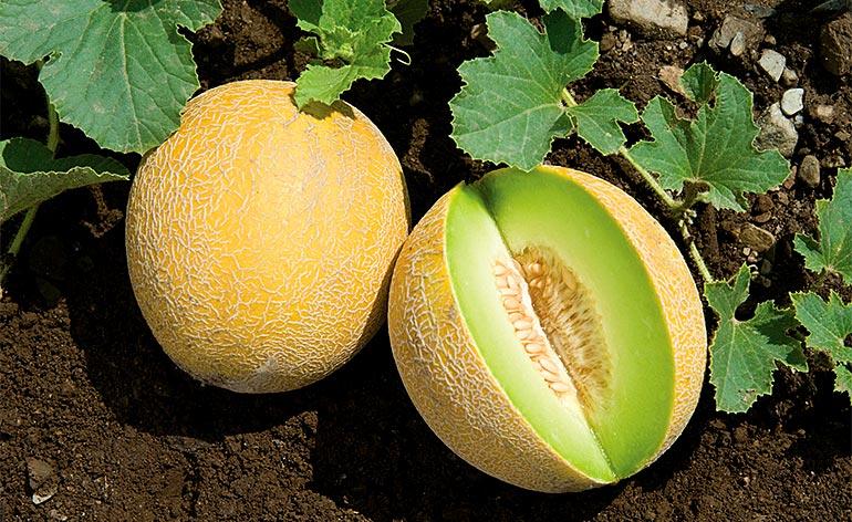 Top 5 Health Benefits of Galia Melon! - Keep Fit Kingdom