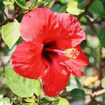 Top 5 Health Benefits of Hibiscus! - Keep Fit Kingdom