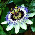 Top 5 Health Benefits of Passion Flower Keep Fit Kingdom 770x472