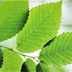 Top 5 Health Benefits of Slippery Elm Keep Fit Kingdom 842x472