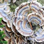 Top 5 Health Benefits of Turkey Tail! - Keep Fit Kingdom
