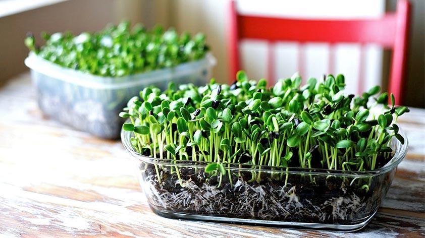 Top 5 Health Benefits of Microgreens! - Keep Fit Kingdom