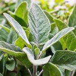 Top 5 Health Benefits of Sage! - Keep Fit Kingdom
