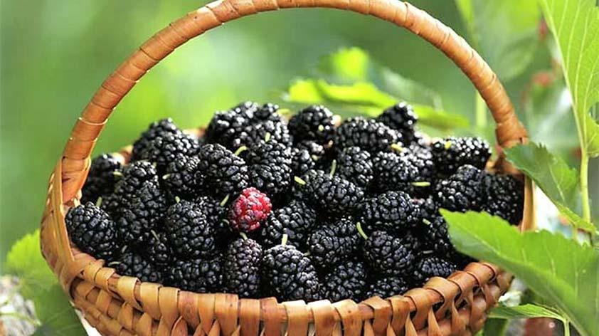 Top 5 Health Benefits of Mulberries! - Keep Fit Kingdom