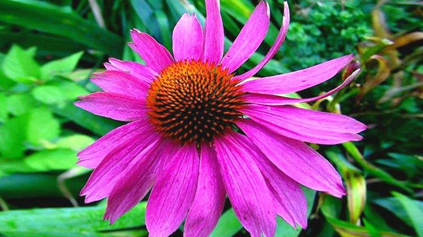 Top 5 Health Benefits of Echinacea! - Keep Fit Kingdom