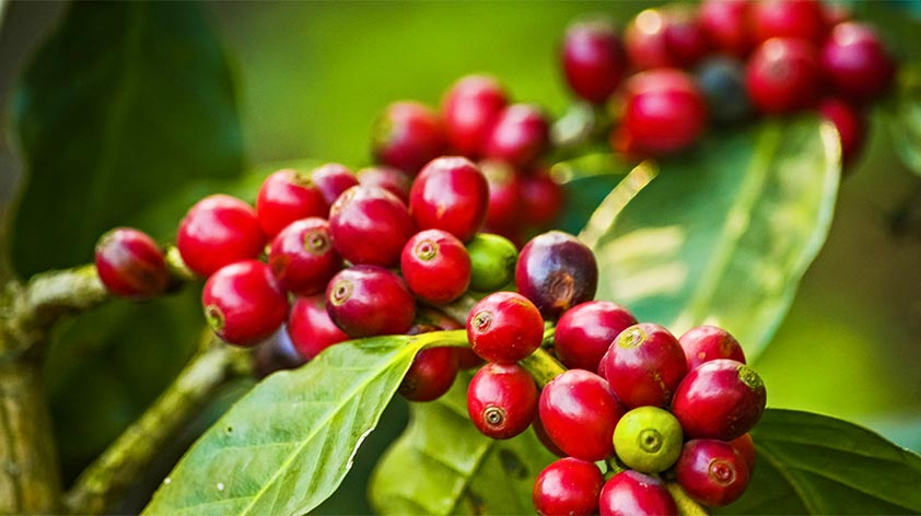 Top 5 Health Benefits of Coffee Fruit Extract -Keep Fit Kingdom