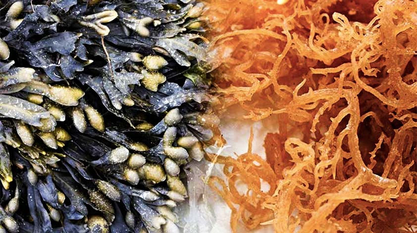 Top 5 Benefits of Sea Moss and Bladderwrack -Keep Fit Kingdom