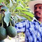 Avocado Increased Demand is Causing Chaos Costing Lives in Mexico Keep Fit Kingdom 842x472
