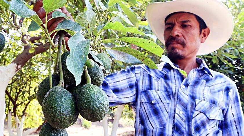 Avocado Increased Demand is Causing Chaos & Costing Lives in Mexico -Keep Fit Kingdom