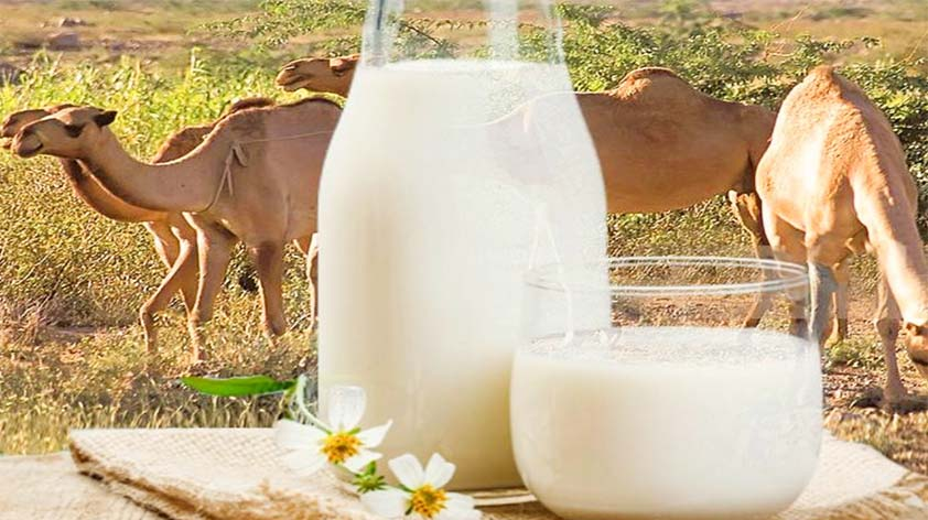 Camel Milk 4 Reasons to Give it a Try Keep Fit Kingdom 842x472 1