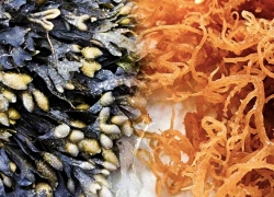 Irish Sea Moss And Bladderwrack Benefits